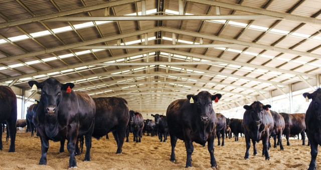 Cattle hides